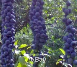 Disciphania sp blue fruit EXTREMELY RARE 20 Seeds