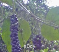 Disciphania sp blue fruit EXTREMELY RARE 5 Seeds