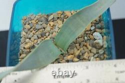 Welwitschia mirabilis, Extremely Rare! Plant, caudex, succulent, cactus